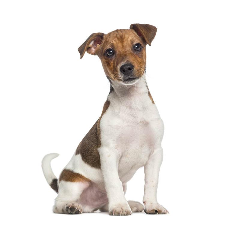 Jack russel terrier carattere terrier di jack russel del for Carattere jack russel
