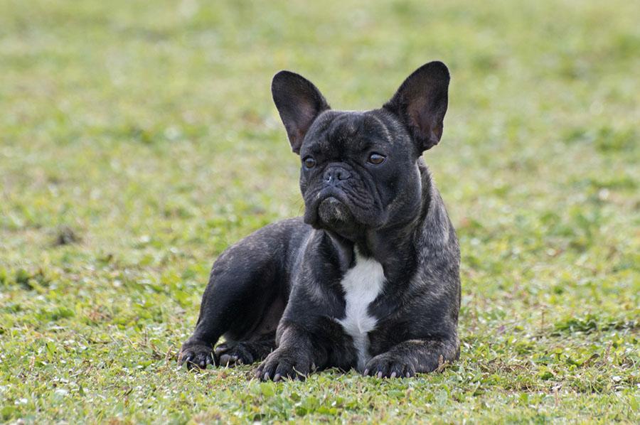 Addestramento bulldog francese a treviso centro cinofilo for Piccolo in francese